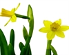 Image of Easter daffodils
